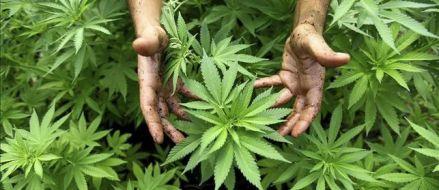 La gran mayoría de españoles, a favor de legalizar el uso terapéutico de la marihuana, según el CIS
