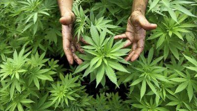 En EEUU y México se incauta casi el 70 por ciento del cannabis del mundo EFE